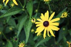黑眼睛的苏珊花在庭院里 库存照片
