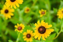 黑眼睛的苏珊野花的领域 免版税库存照片