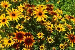 黑眼睛的苏珊雏菊充满活力的丰盈  免版税库存图片