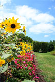 黑眼睛的苏珊雏菊花在庭院里 库存照片