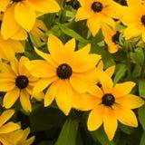 黑眼睛的苏珊,黄金菊hirta,红色和黄色花特写镜头,选择聚焦,浅DOF 免版税库存图片