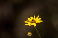 黑眼睛的苏珊黄色雏菊花黄金菊fulgida 免版税库存图片