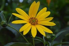 黑眼睛的苏珊(黄金菊) 库存图片