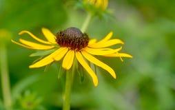 黑眼睛的苏珊-黄金菊hirta 库存图片