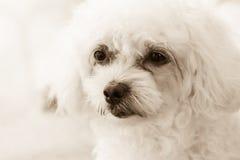 眼睛的逗人喜爱的长卷毛狗小狗感觉在乌贼属口气的 库存照片