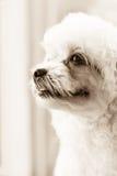 眼睛的逗人喜爱的长卷毛狗小狗感觉在乌贼属口气的 库存图片