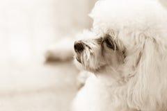 眼睛的逗人喜爱的长卷毛狗小狗感觉在乌贼属口气的 免版税图库摄影