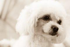 眼睛的逗人喜爱的长卷毛狗小狗感觉在乌贼属口气的 免版税库存图片