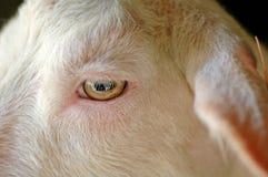 眼睛羊羔 免版税图库摄影