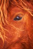 眼睛美丽的红色马在户外冬天 库存照片