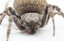 眼睛蜘蛛特写镜头 免版税库存照片