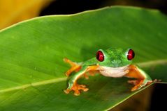 眼睛青蛙叶子红色结构树 库存图片
