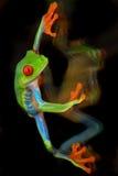 眼睛青蛙红色结构树 免版税图库摄影