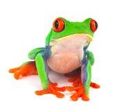眼睛青蛙红色结构树 库存图片