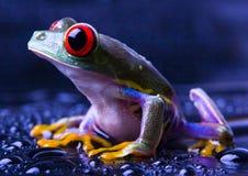 眼睛青蛙红色 库存照片