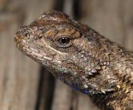 眼睛顶头蜥蜴宏观射击陈列 免版税图库摄影