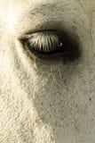 眼睛马 库存图片
