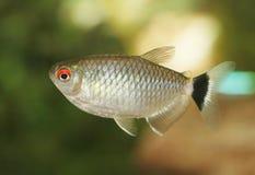 眼睛鱼红色 免版税图库摄影