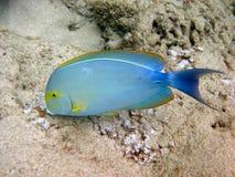 眼睛鱼palani数据条外科医生 库存照片
