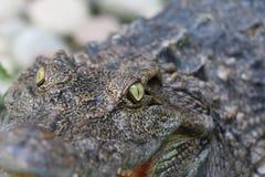 眼睛鳄鱼在动物园背景和纹理中 图库摄影