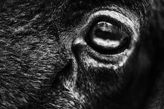 眼睛,绵羊 免版税库存图片