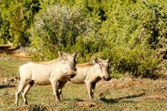 眼睛-非洲野猪属africanus共同的warthog 库存照片