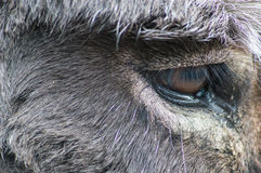 驴眼睛 免版税图库摄影