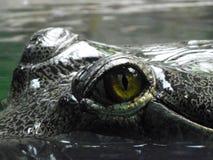 眼睛gharial 免版税库存图片
