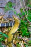 眼镜王蛇, Ophiophagus汉娜, Corbett老虎储备, Uttarakhand 库存照片