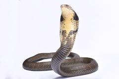 眼镜王蛇, Ophiophagus汉娜 免版税库存图片