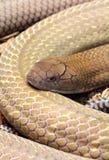 眼镜王蛇 库存图片