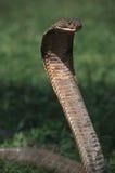 眼镜蛇国王 库存图片