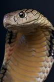 眼镜蛇国王 免版税库存照片