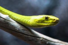 绿眼镜蛇在分支关闭 库存图片