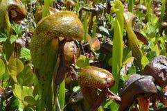 眼镜蛇百合植物 免版税图库摄影