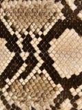 眼镜蛇皮肤蛇 免版税库存图片
