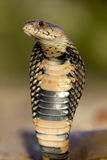 眼镜蛇莫桑比克分散 免版税库存图片