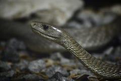 黑眼镜蛇 免版税图库摄影