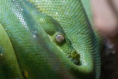 绿眼镜蛇 免版税图库摄影