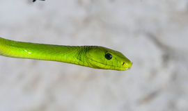绿眼镜蛇 免版税库存图片