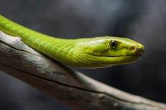 绿眼镜蛇 图库摄影