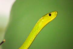 绿眼镜蛇头 免版税图库摄影