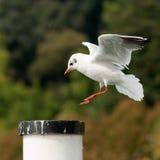 着陆海鸥 免版税库存图片