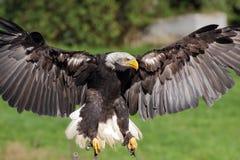 着陆海鹰特写镜头视图 免版税库存照片