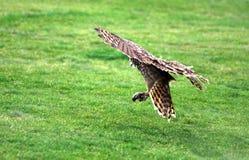 着陆猫头鹰 免版税库存照片