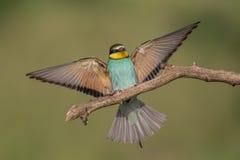 着陆食蜂鸟 免版税库存图片