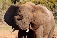 睡眠定期的非洲人布什大象 免版税图库摄影