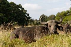 睡眠定期的非洲水牛城Syncerus caffer 库存图片