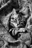 睡眠小猫 免版税图库摄影
