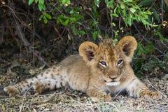 睡眠幼狮采取休息 免版税库存图片